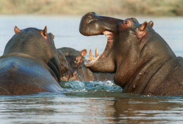 Hippos are known for their territorial behavior and aggressive displays.