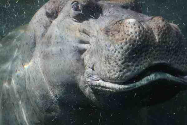 Hippo licensed to Pami Noldan